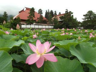 130707_1214_稲泉寺のハス(木島平村)