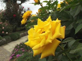 131005_1306_中野市一本木公園に咲くバラ(中野市)