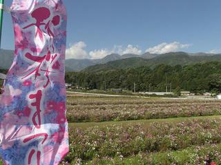 131012_0925_信州アルプス花の里いいじま2013秋桜まつり(飯島町)