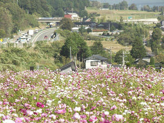 131012_0927_信州アルプス花の里いいじま2013秋桜まつり(飯島町)