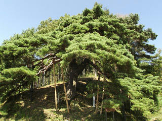 131012_1109_火山峠にある芭蕉の松(駒ヶ根市)
