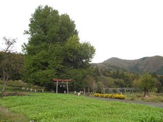 131110_1145_神戸の大イチョウ(飯山市)
