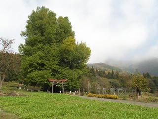 131116_1242_神戸の大イチョウ(飯山市)