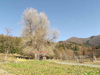 131130_1253_神戸の大イチョウ(飯山市)