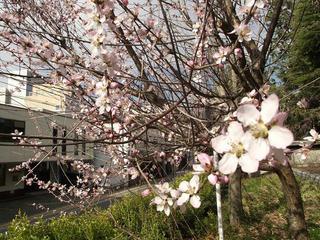 140329_0841_長野市立図書館に咲く魯桃桜(長野市)