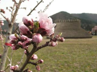 140419_1436_平出遺跡公園に植えられた桃の原種「オハツモモ」の開花(塩尻市)