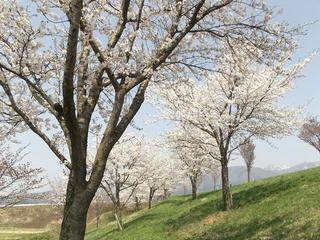 140426_1401_道の駅千曲川近くにあるサクラ並木(飯山市)