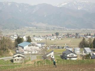 140426_1436_道の駅千曲川近くにあるサクラ並木(飯山市)