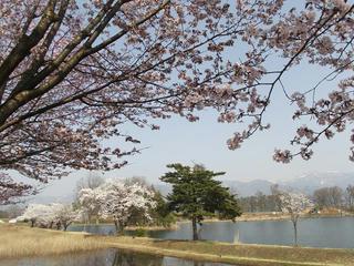 140426_1442_長峰スポーツ公園のサクラ(飯山市)