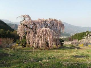 140427_0711_弁天さんのしだれ桜(須坂市)
