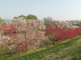 140427_0751_千曲川ふれあい公園(小布施町)