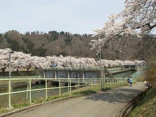 140427_1108_東京電力西大滝ダムのサクラ(飯山市)