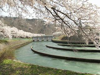 140427_1115_東京電力西大滝ダムのサクラ(飯山市)