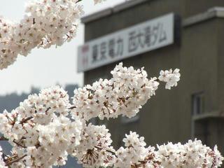 140427_1116_東京電力西大滝ダムのサクラ(飯山市)