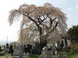 140427_1326_宇木の古代桜・区民会館前の桜(山ノ内町)