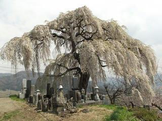 140427_1345_宇木の古代桜・大久保の桜(山ノ内町)