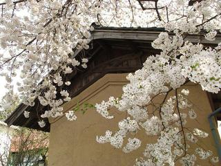 140427_1352_宇木の古代桜・宇木地区に咲く桜(山ノ内町)