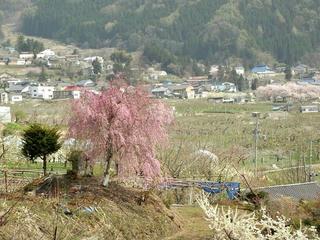 140427_1347_宇木の古代桜・宇木地区に咲く桜(山ノ内町)