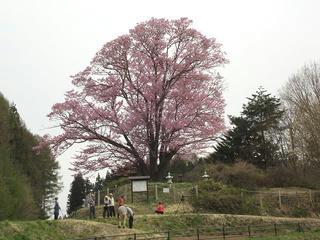 140429_0817_地蔵久保のオオヤマザクラ(飯綱町)