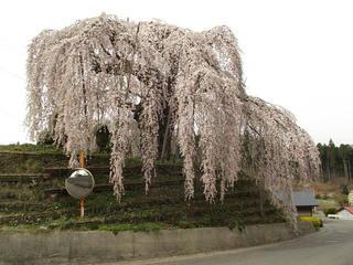 140429_0823_袖之山のシダレザクラ(飯綱町)