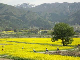 140506_1201_飯山市常盤の菜の花畑(飯山市)