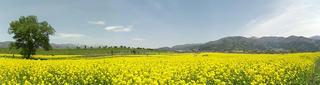 140506_1207_飯山市常盤の菜の花畑(飯山市)
