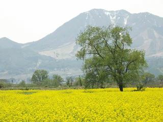 140506_1205_飯山市常盤の菜の花畑(飯山市)
