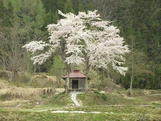 140503_1303_北安曇郡小谷村千国甲の小さなお堂に咲くサクラ(小谷村)