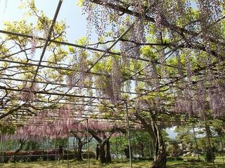 140510_1314_泉龍院の三色藤(豊丘村)