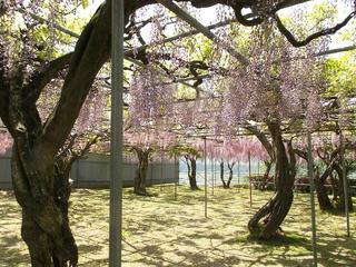 140510_1315_泉龍院の三色藤(豊丘村)