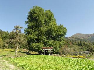 141025_1123_神戸の大イチョウ(飯山市)
