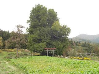 141102_1209_神戸の大イチョウ(飯山市)