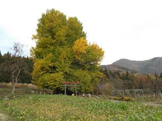 141116_1225_神戸の大イチョウ(飯山市)