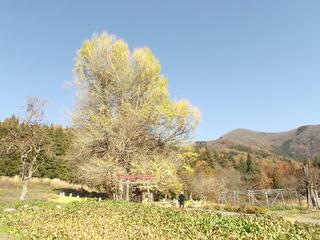 141122_1308_神戸の大イチョウ(飯山市)