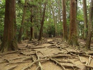 130914_1103_総本山鞍馬寺・大杉権現に続く木の根道(京都市左京区)