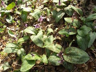 150412_0955_里島自然探勝道に咲くカタクリの花(長野市)