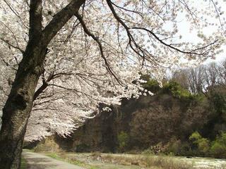 150412_1023_長商グランド沿いに咲くサクラ(長野市)