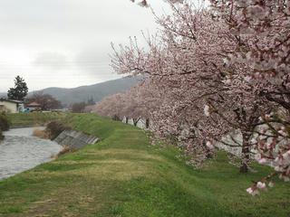 150411_0842_宮川堤防沿いに咲くタカトオコヒガンザクラ(茅野市)
