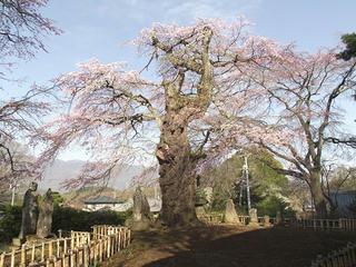 150418_0732_茅葺屋根の観音堂に咲く「高森観音堂しだれ桜」(富士見町)