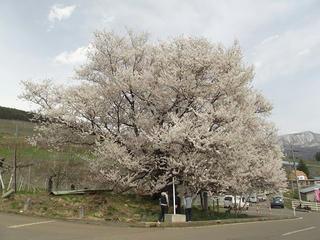 150418_1331_2_宇木の古代桜・千歳桜(山ノ内町)