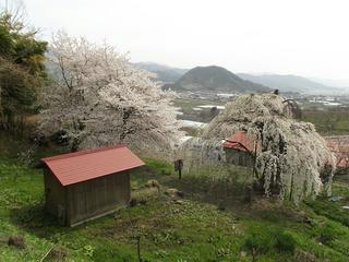 150418_1336_宇木の古代桜・大日庵の源平しだれ桜(山ノ内町)