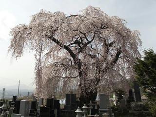 150418_1316_宇木の古代桜・宇木区民会館の桜(山ノ内町)
