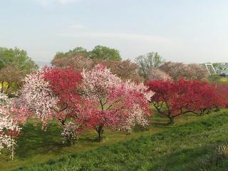 150425_0729_千曲川ふれあい公園(小布施町)