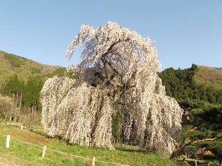 150425_1710_弁天さんのしだれ桜(須坂市)