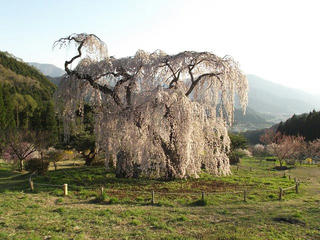 150425_1712_弁天さんのしだれ桜(須坂市)
