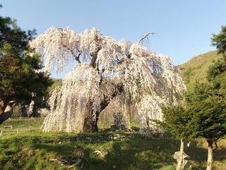150425_1715_弁天さんのしだれ桜(須坂市)