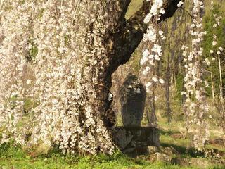 150425_1716_弁天さんのしだれ桜(須坂市)