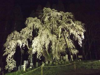 150425_2033_ライトアップされた坪井のしだれ桜(高山村)