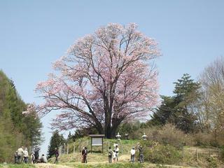 150426_1127_地蔵久保のオオヤマザクラ(飯綱町)
