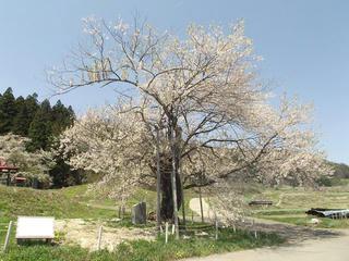 150426_1147_黒川桜林のエドヒガン(飯綱町)